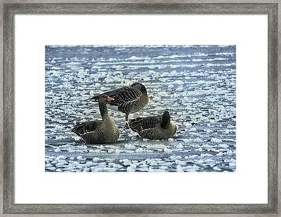 Ducks On Ice Framed Print