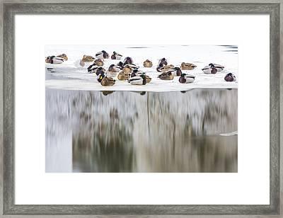Ducks On The Red Cedar River  Framed Print by John McGraw