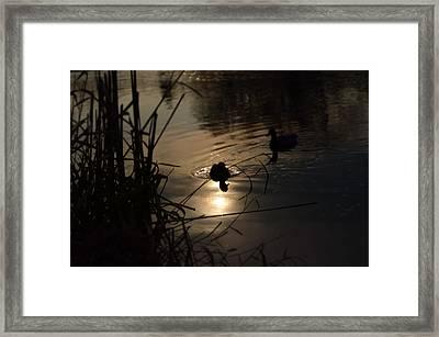 Ducks On The River At Dusk Framed Print by Samantha Morris