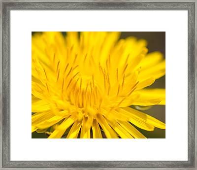 Dulcet Dandelion Framed Print
