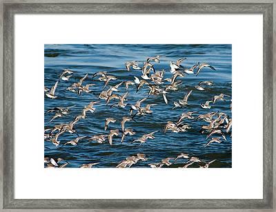 Dunlins In Flight Framed Print