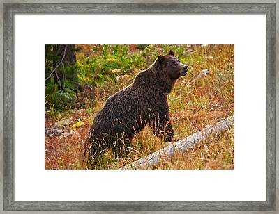 Dunraven Grizzly Framed Print by Mark Kiver