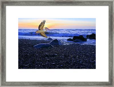 Dusk Flight Of The Pelican Framed Print
