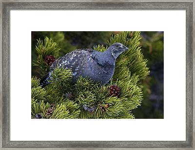 Dusky (blue) Grouse Framed Print by Ken Archer