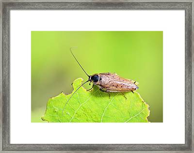 Dusky Cockroach Framed Print by Bob Gibbons