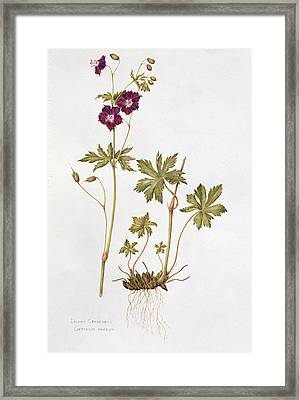 Dusky Cranesbill Framed Print