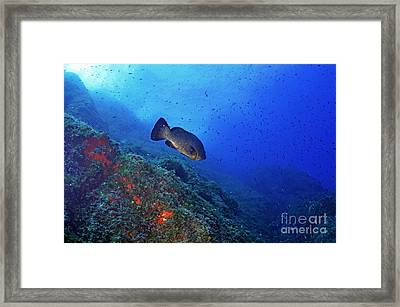 Dusky Grouper Framed Print by Sami Sarkis