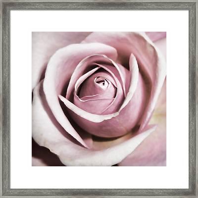 Dusky Rose Framed Print