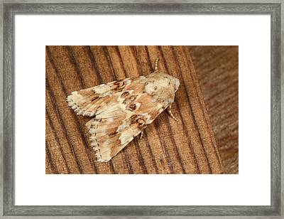 Dusky Sallow Moth Framed Print by Nigel Downer