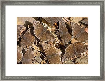 Duskywing Butterflies Framed Print by Melinda Fawver