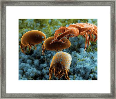Dust Mites And Their Predator Framed Print by Thierry Berrod, Mona Lisa Production/ Science Photo Library