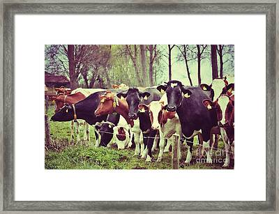 Framed Print featuring the photograph Dutch Cows by Nick  Biemans