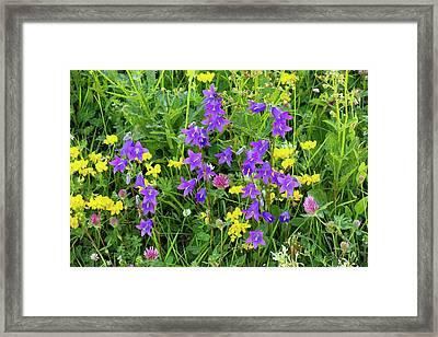 Dwarf Bellflowers (campanula Collina) Framed Print