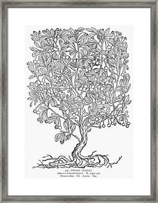 Dwarf Cherry Tree Framed Print by Granger