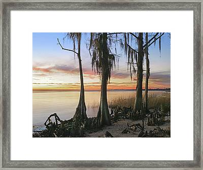 Dwarf Cypress Trees Covered Framed Print