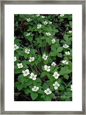Framed Print featuring the photograph Dwarf Dogwood by Doug Herr