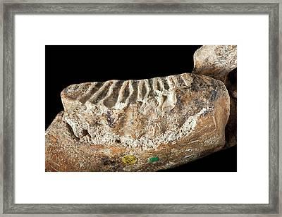 Dwarf Elephant Tooth Framed Print