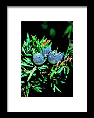Juniper Berries Framed Prints