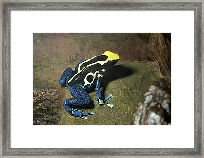 Dyeing Poison Frog Framed Print by Nigel Downer