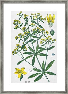 Dyers Madder Framed Print by French School