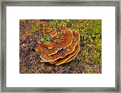 Dyers Polypore Mushroom Framed Print by Robert and Jean Pollock