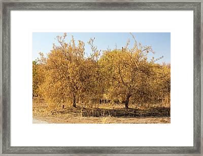 Dying Orange Trees Framed Print