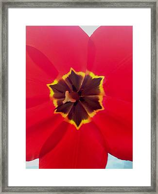 Dying Tulip Framed Print
