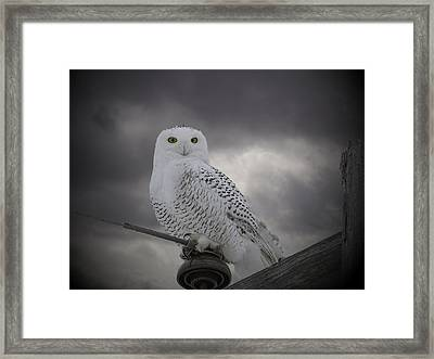 Dynamic Portrait Of A Snowy Owl Framed Print by Thomas Young