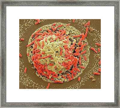 E. Coli Induced Cell Death Framed Print by Steve Gschmeissner