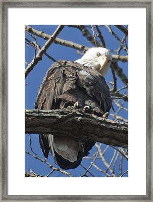 Eagle 2 Framed Print by Valerie Wolf