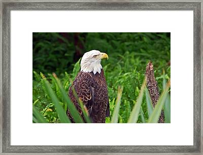 Eagle Framed Print by Aimee L Maher Photography and Art Visit ALMGallerydotcom