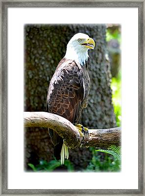 Framed Print featuring the photograph Eagle by Amanda Vouglas