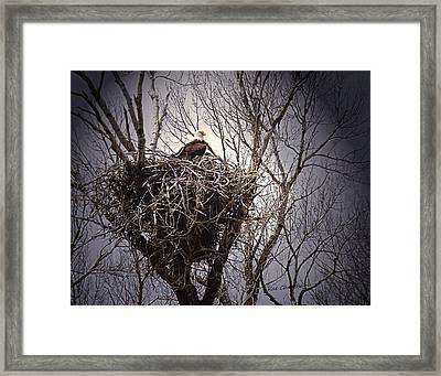 Eagle At Home Framed Print