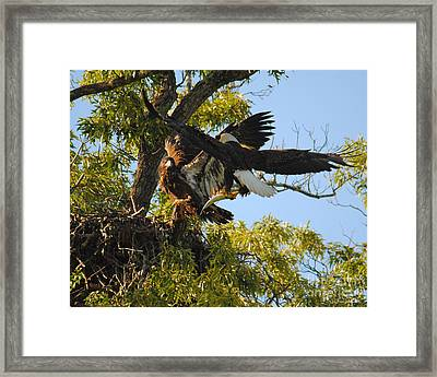 Eagle Bringing Fish Into The Nest Framed Print by Jai Johnson