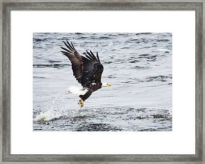 Eagle Hunting On The Wisconsin River Framed Print by Ricky L Jones