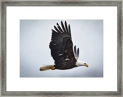 Eagle In Flight Framed Print by Ricky L Jones
