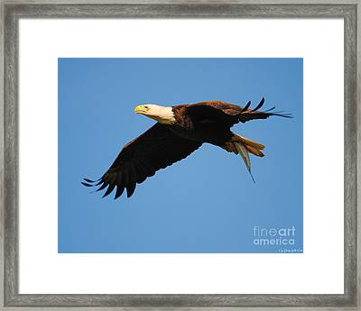 Eagle In Flight With Fish II Framed Print by Jai Johnson