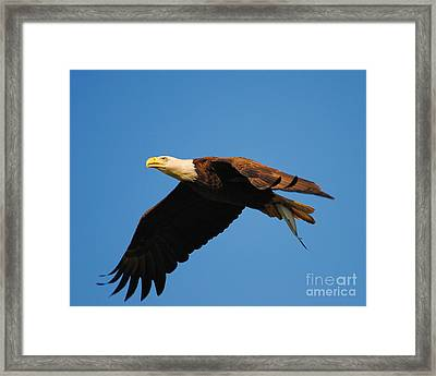 Eagle In Flight With Fish Framed Print by Jai Johnson