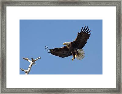 Framed Print featuring the photograph Eagle Landing 2 by Phil Stone