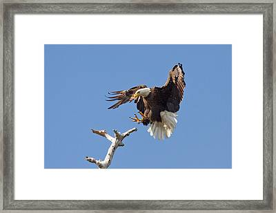 Framed Print featuring the photograph Eagle Landing At Bayonne Preserve by Phil Stone