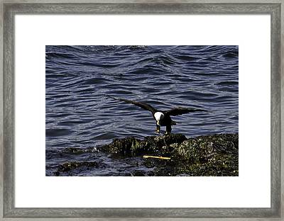 Framed Print featuring the photograph Eagle Landing. by Timothy Latta