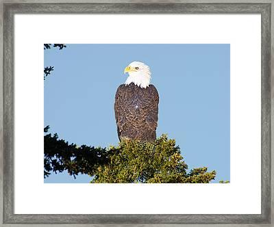 Eagle On A Branch Framed Print