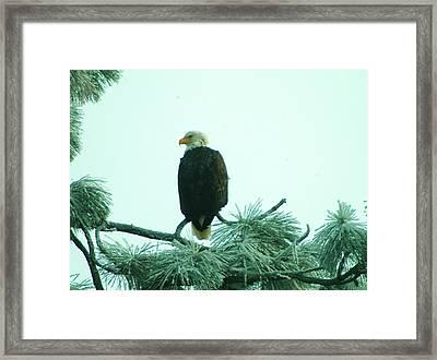 Eagle On A Frozen Pine Framed Print by Jeff Swan