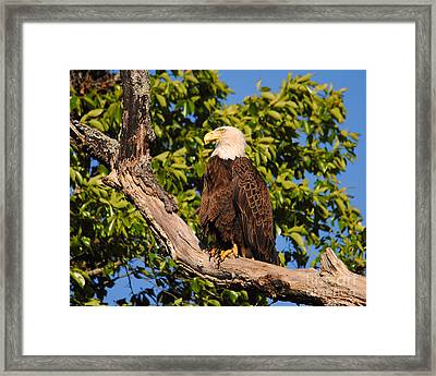 Eagle On Roosting Branch II Framed Print by Jai Johnson