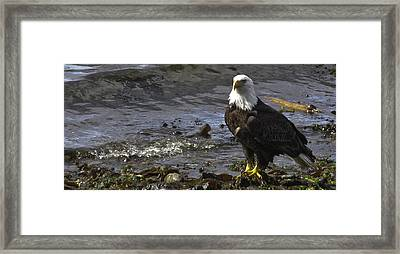 Framed Print featuring the photograph Eagle On The Beach by Timothy Latta