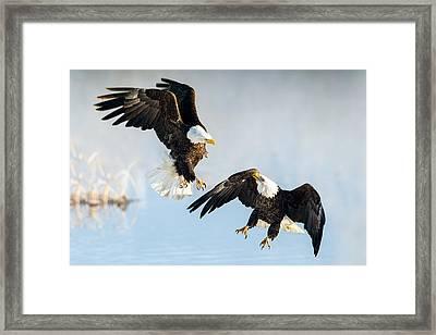 Eagle Showdown Framed Print