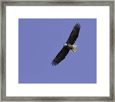 Eagle Soaring In The Sky Framed Print by Thomas Young