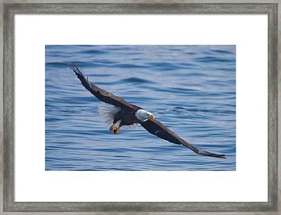 Eagle Soaring Framed Print