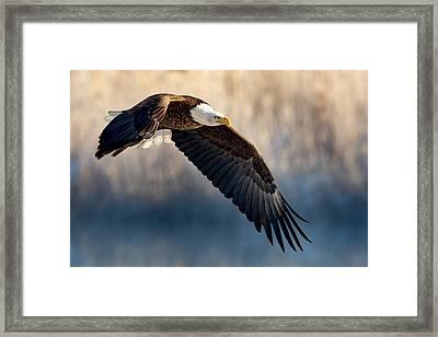Eagle Sore Framed Print
