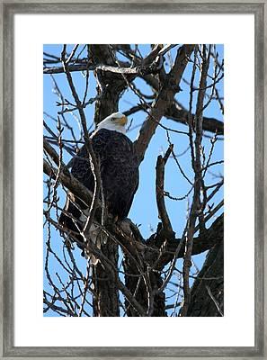 Eagle Watch Framed Print by Laurel Gillespie